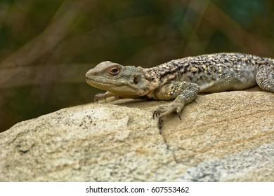 Caucasian agama (Paralaudakia caucasia) is a species of agamid lizard found in the Caucasus, - Georgia, Armenia, Azerbaijan - Shutterstock ID 607553462