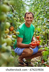 Caucasian farmer picking fresh tomatoes from his hothouse garden
