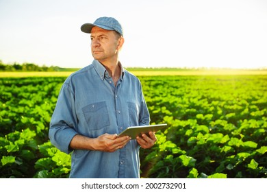 A Caucasian farmer with a tablet in his hands stands in the middle of a green field. An agronomist in a field with an unripe sunflower checks the harvest. Beautiful sunset, spring day. Smart farm