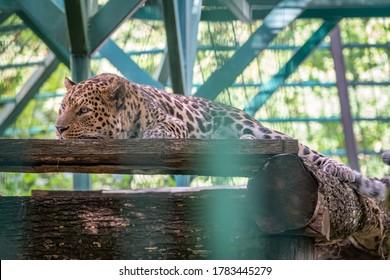 Caucasian leopard resting in an aviary. The leopard resting in the shadow of an aviary. The Persian leopard, also known as the Caucasian leopard, lat. Panthera pardus ciscaucasica
