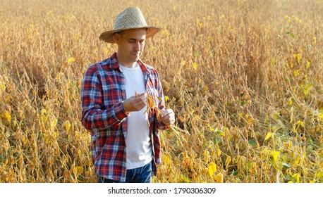 Paysan du Caucase d'âge moyen en paille inspectant des gousses de soja dans les champs