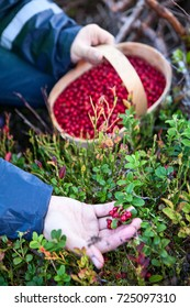 Caucasian person collects red bilberry in the wood, close-up view of a hand and a basket full of berries