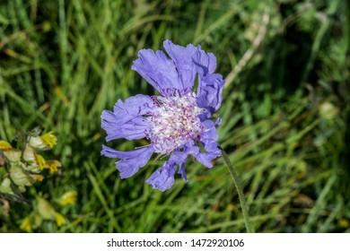 Caucasian Pincushion Flower (Scabiosa caucasica) in alpine meadows, Caucasus, Republic of Dagestan, Russia