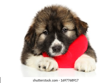 Caucasian puppy with red Valentine heart on white background. Animal themes