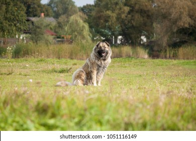 The Caucasian sheep-dog on a summer meadow