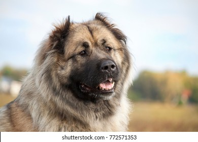 The Caucasian sheep-dog in the summer on a green meadow