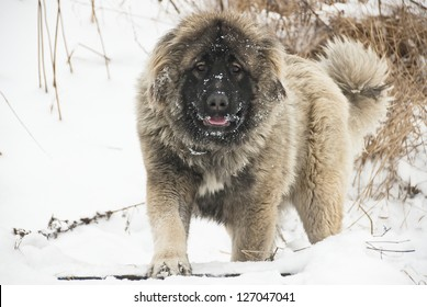 Caucasian sheepdog in winter time.