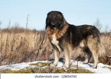 Caucasian Shepherd dog in autumn field