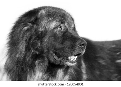 Caucasian Shepherd dog black and white portrait