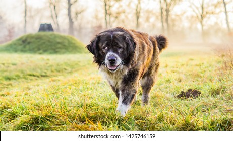 Caucasian Shepherd dog in field with green grass
