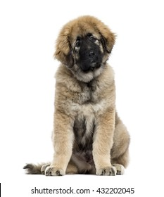 Caucasian Shepherd Dog looking at the camera and sitting, isolated on white