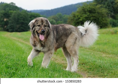 Caucasian shepherd dog Owtscharka