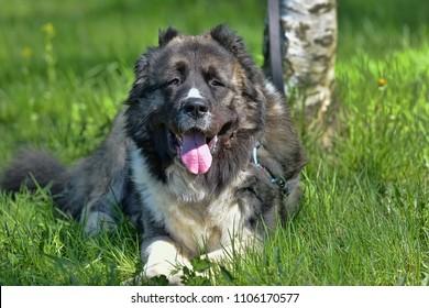 Caucasian Shepherd Dog in summer