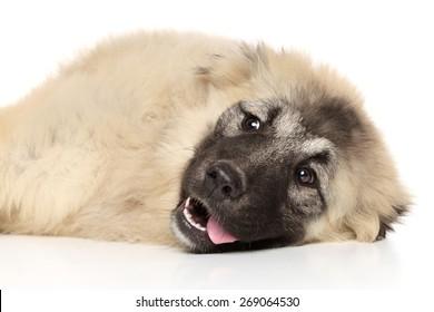 Caucasian shepherd lying down on white background