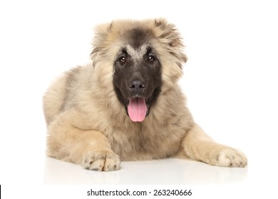 Caucasian Shepherd puppy lying down on a white background