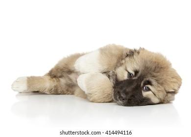 Caucasian shepherd puppy lying on white background