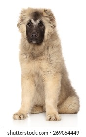 Caucasian Shepherd puppy sits in front of white background