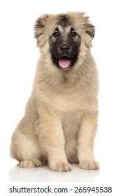 Caucasian Shepherd puppy sits on white background