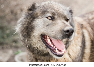 Caucasian Shepherd Watchdog. The big dog is cute smiling. Really dangerous dog. Dog on the street