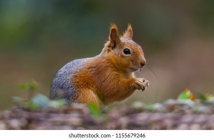 Caucasian Squirrel Sciurus anomalus