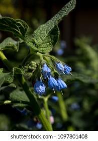 Caucasian superintendent (Symphytum caucasicum) flower buds in the sunshine.