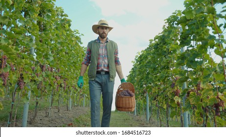 Caucasian vintner in strawhat walking between vines selecting and picking up fresh grapes into basket for winemaking. Concept of agriculture.