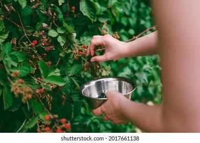 Caucasian woman handpicking wild blackberries