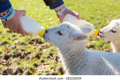 Caucasian woman in welsh field feeding two newborn lambs with milk from feed bottles with sheep in background