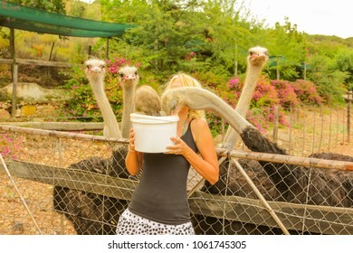 Caucasian young woman feeds a group of ostriches in Oudtshoorn, Western Cape, South Africa. Female tourist enjoying in the largest city in Little Karoo known for the numerous ostrich farms.