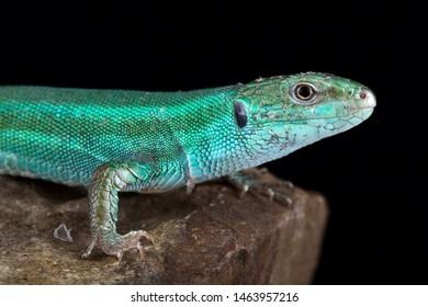Caucusus emerald lizard (Lacerta strigata)