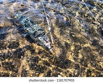 Caught Blowfish. Blowfish in the sea