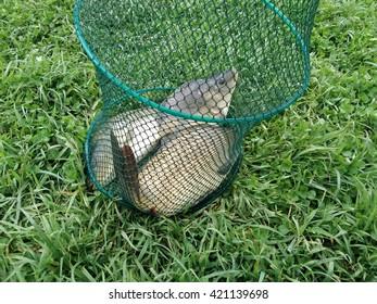 Caught fish in net