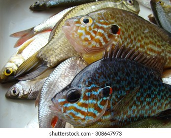 caught fish,sun fish or eared perch,roach,species of fish.