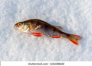 Caught a small freshwater fish-common perch, European perch lies on the ice of the river. Winter fishing.