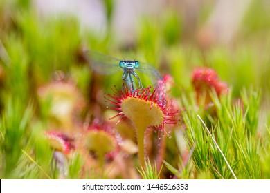 Caught in the Sundew. Damselfly Caught in the sundew (drosera)