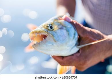 Caught Tigerfish (Hydrocynus Vittatus) in fishermen`s hands. Tiger fishing in Zambia.