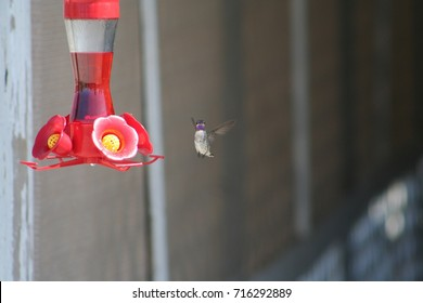Caught you looking. A Humming Bird flying to get a drink of nectar and taking a look.