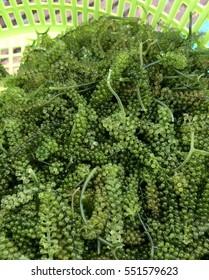 Caulerpa lentillifera - sea grapes or green caviar.