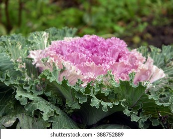 Cauliflower (decorative cabbage) in the garden