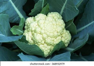 Cauliflower fresh from the tree organic cauliflower