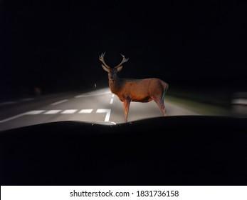 Caution - deer crossing in autumn