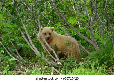 Cautious Alaskan brown bear checking his surroundings,
