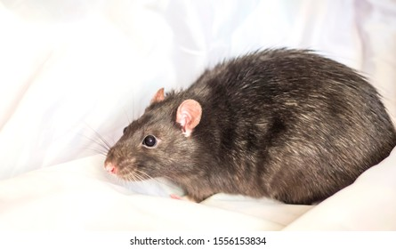 a cautious grey house rat sits on a white background