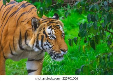 cautious tiger