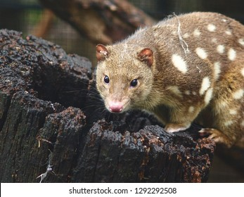 Cautious Vigilant Spotted Quoll with a Watchful Wary Gaze Sitting on a Hollow Log.