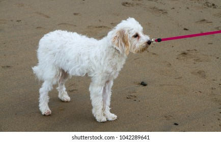 cavachon puppy bitch standing on a sandy beach with a pink retractible lead