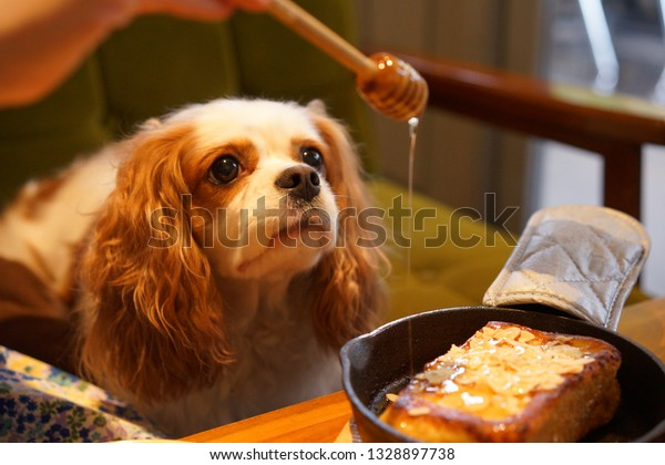 https://image.shutterstock.com/image-photo/cavalier-food-dog-cafe-600w-1328897738.jpg