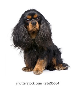 Cavalier King Charles (3 years) in front of a white background