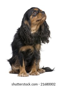Cavalier King Charles (4 years) in front of a white background