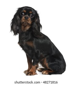 Cavalier King Charles, 9 Months Old, sitting in front of white background